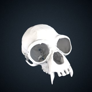 3d model of Hylobates albibarbis: Cranium