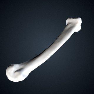3d model of Pongo abelii: MT2 Left