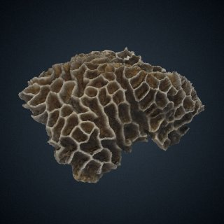 3d model of Goniastrea favulus