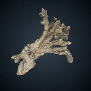 3d model of Acropora prolifera