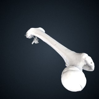 3d model of Pongo abelii: Femur Right