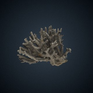 3d model of Madrepora formosa