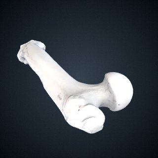 3d model of Gorilla beringei beringei: Femur Left