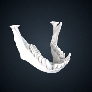 3d model of Pygathrix nigripes: Mandible
