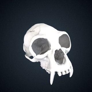 3d model of Nomascus concolor: Cranium