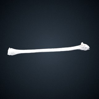 3d model of Pongo abelii: Fibula Right