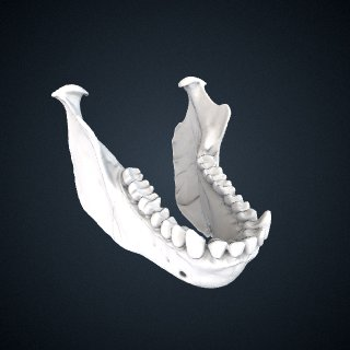 3d model of Lagothrix lagotricha: Mandible