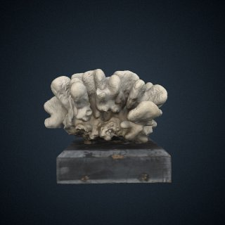 3d model of Sideropora mordax