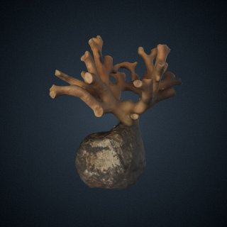 3d model of Distichopora borealis