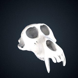3d model of Macaca nemestrina: Cranium