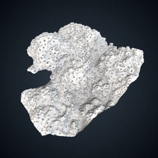 3d model of Manopora lichen: Detail View