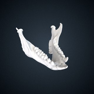 3d model of Propithecus edwardsi: Mandible