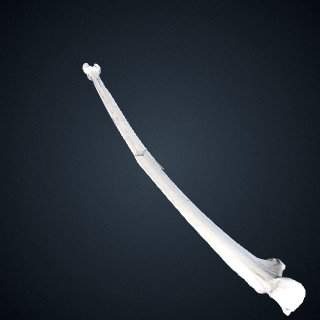 3d model of Pongo abelii: Ulna Right