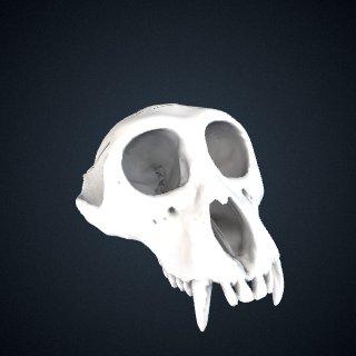 3d model of Nasalis larvatus: Cranium