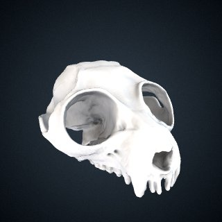 3d model of Perodicticus edwardsi: Cranium