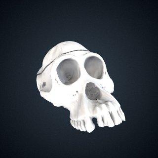 3d model of Pongo abelii: cranium