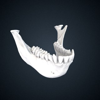 3d model of Rhinopithecus roxellana roxellana: Mandible