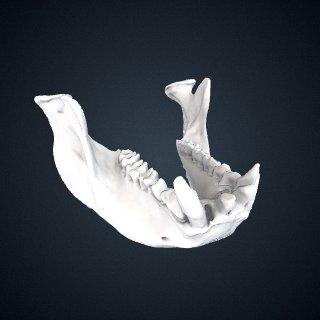 3d model of Piliocolobus badius temminckii: Mandible