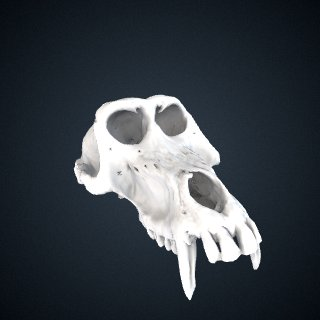 3d model of Papio hamadryas: Cranium