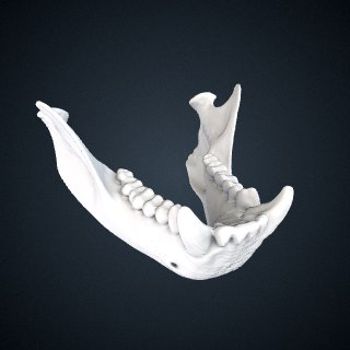 3d model of Cebus versicolor: Mandible