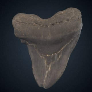 3d model of Carcharocles megalodon