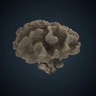 3d model of Pocillopora grandis