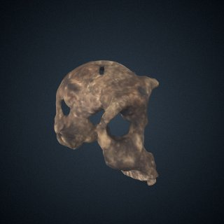 3d model of Paranthropus boisei: cranium