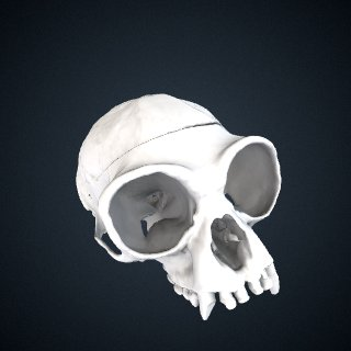 3d model of Hylobates lar lar: Cranium