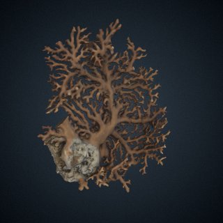 3d model of Distichopora violacea