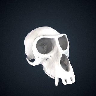 3d model of Erythrocebus patas: Cranium