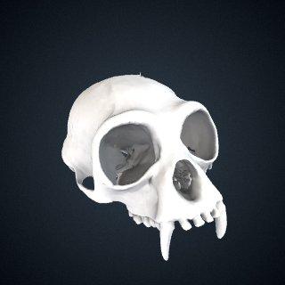 3d model of Hylobates lar carpenteri: Cranium