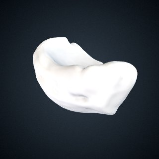 3d model of Pongo abelii: Navicular Right