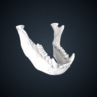 3d model of Simias concolor Miller, 1903: Mandible