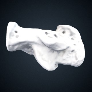 3d model of Pongo pygmaeus: Calcaneus Right