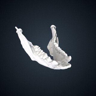 3d model of Propithecus deckenii: Mandible