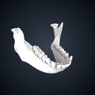 3d model of Presbytis potenziani siberu: Mandible