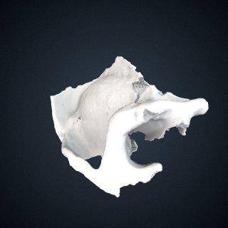 3d model of Gorilla beringei beringei: Cranium