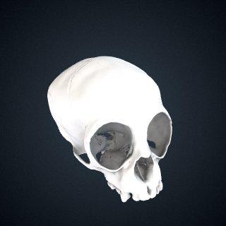 3d model of Nomascus leucogenys: Cranium