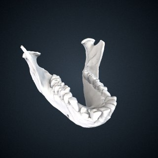 3d model of Macaca leonina: Mandible
