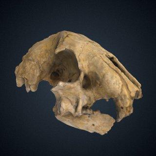 3d model of Hoplophoneus primaevus Leidy & Owen, 1851: Skull