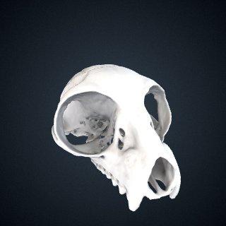 3d model of Lepilemur mustelinus: Cranium