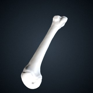 3d model of Pongo abelii: MT4 Right