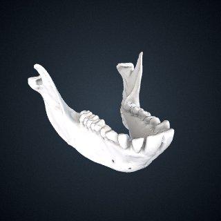 3d model of Lophocebus aterrimus: Mandible