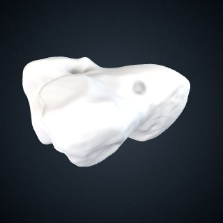 3d model of Gorilla gorilla gorilla: Capitate Right