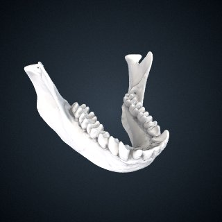 3d model of Trachypithecus cristatus cristatus: Mandible
