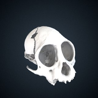 3d model of Sapajus apella: Cranium