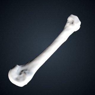 3d model of Pongo abelii: MT4 Right