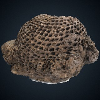 3d model of Cycadeoidea pulcherrima Ward