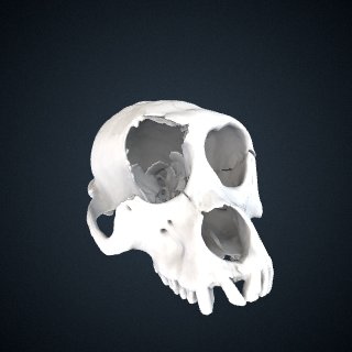 3d model of Macaca assamensis pelops: Cranium