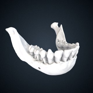 3d model of Pan paniscus: Mandible